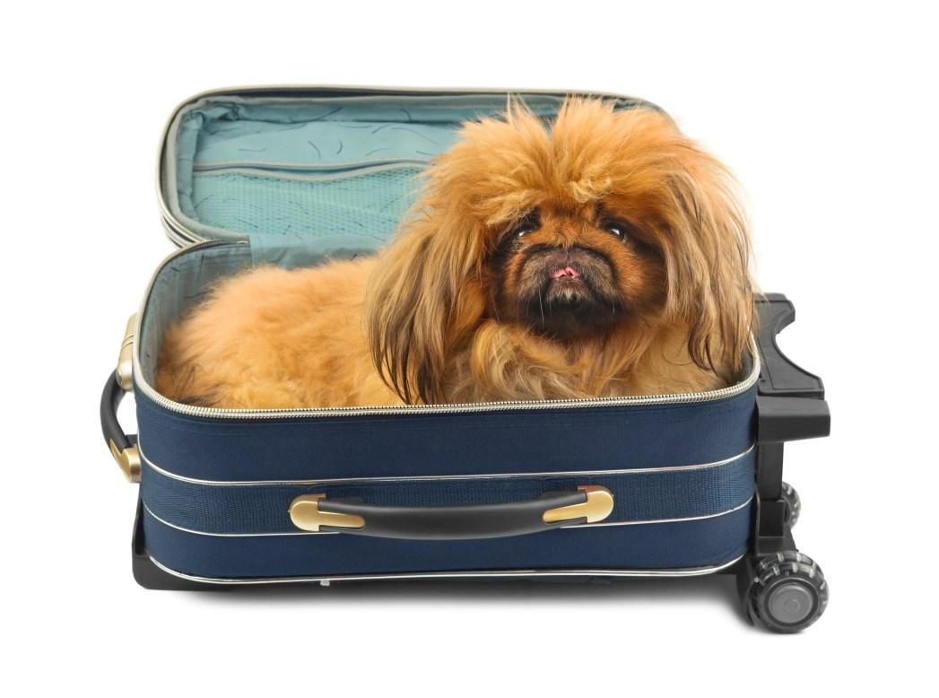 Ένας σκύλος μέσα σε βαλίτσα